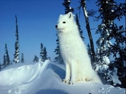 Tundra's Perfect Plants and Amazing Animals - Kray The Snow Fox's ...