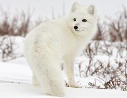 Tundra's Endangered Species - Kray The Snow Fox's Tundra Homeland